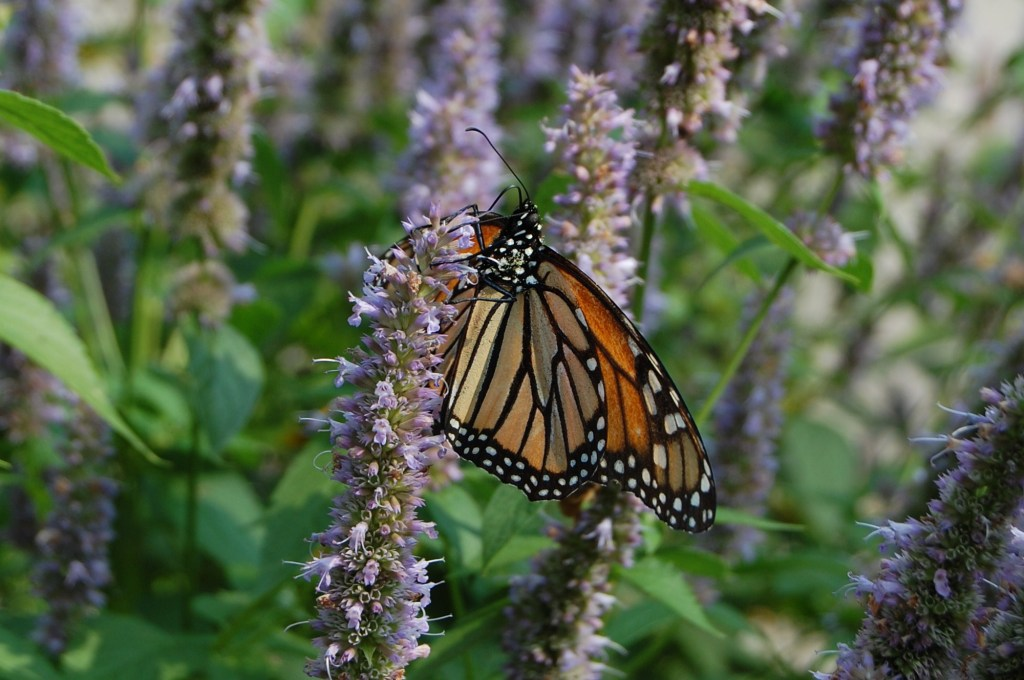 Monarch on anise hyssop.