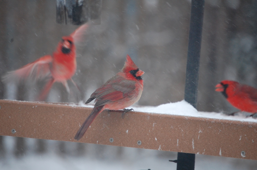 Cardinals at my platform feeder.