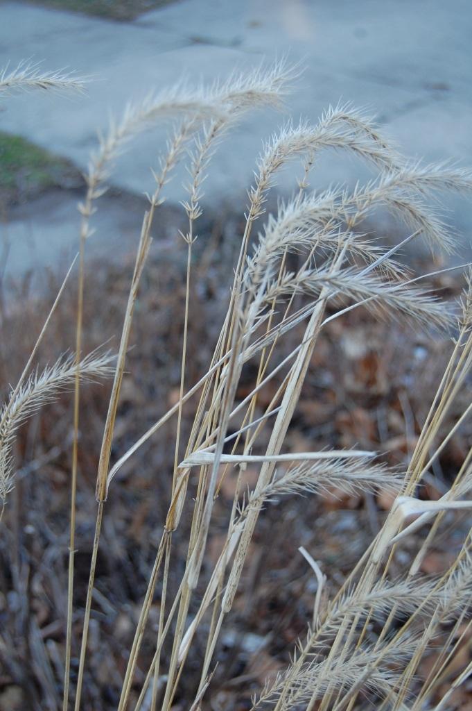 Virginia Wild Rye