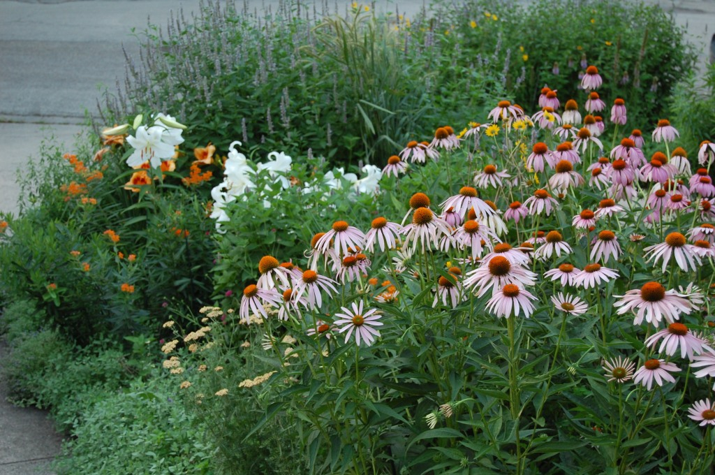 Purple Coneflowers in the Driveway Border before I had to take them all out.