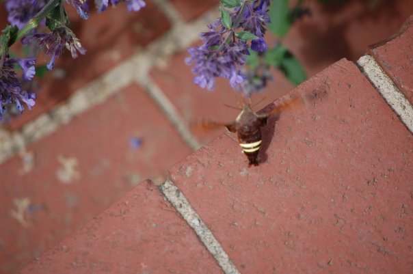 Nepeta and hummingbird moth