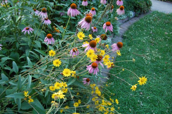 Western Sunflower, Purple Coneflower