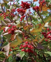 American Cranberrybush Viburnum fruit