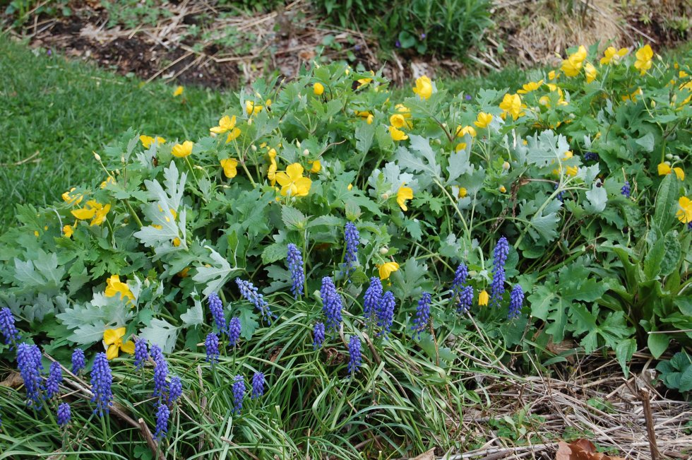 Celandine poppy, grape hyacinth