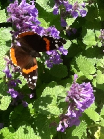 There were lots of red admiral butterflies this weekend, and another species I couldn't identify.