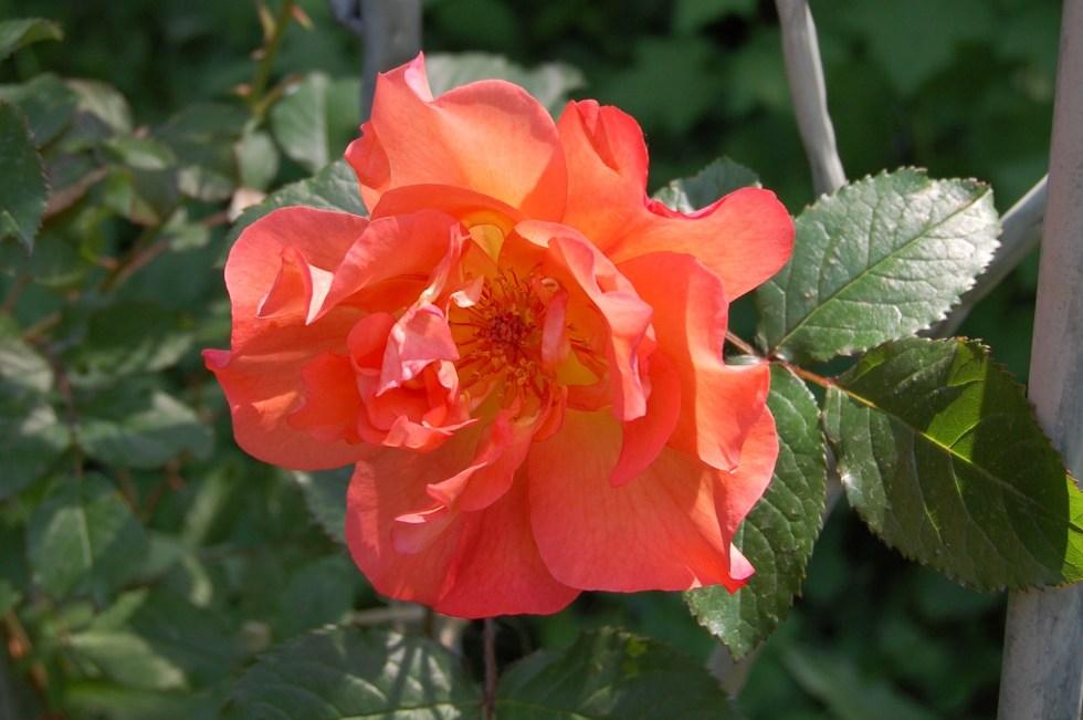'Westerland' Rose