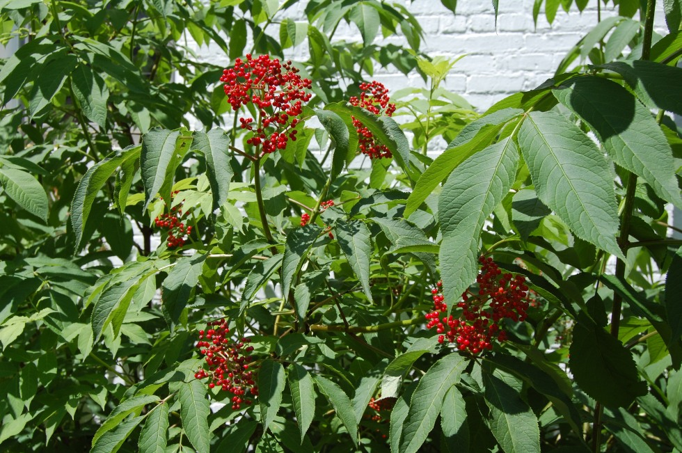 Red elderberries, Sambucus racemosa L.