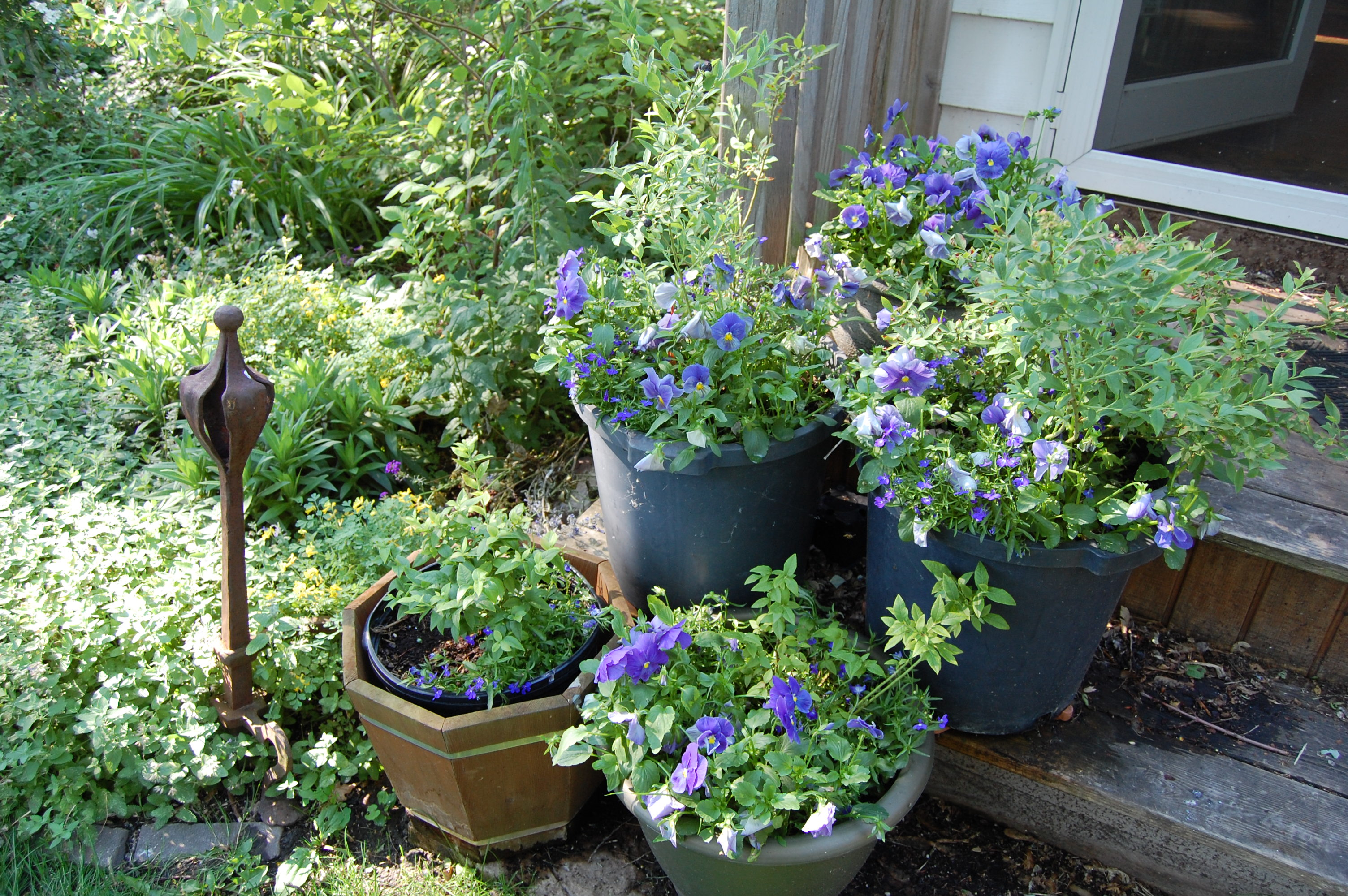 Pansies and low bush blueberries