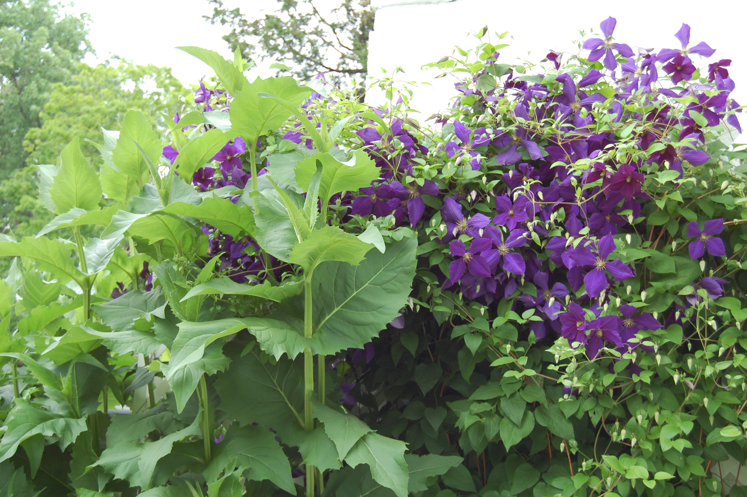 How to plant clematis 64