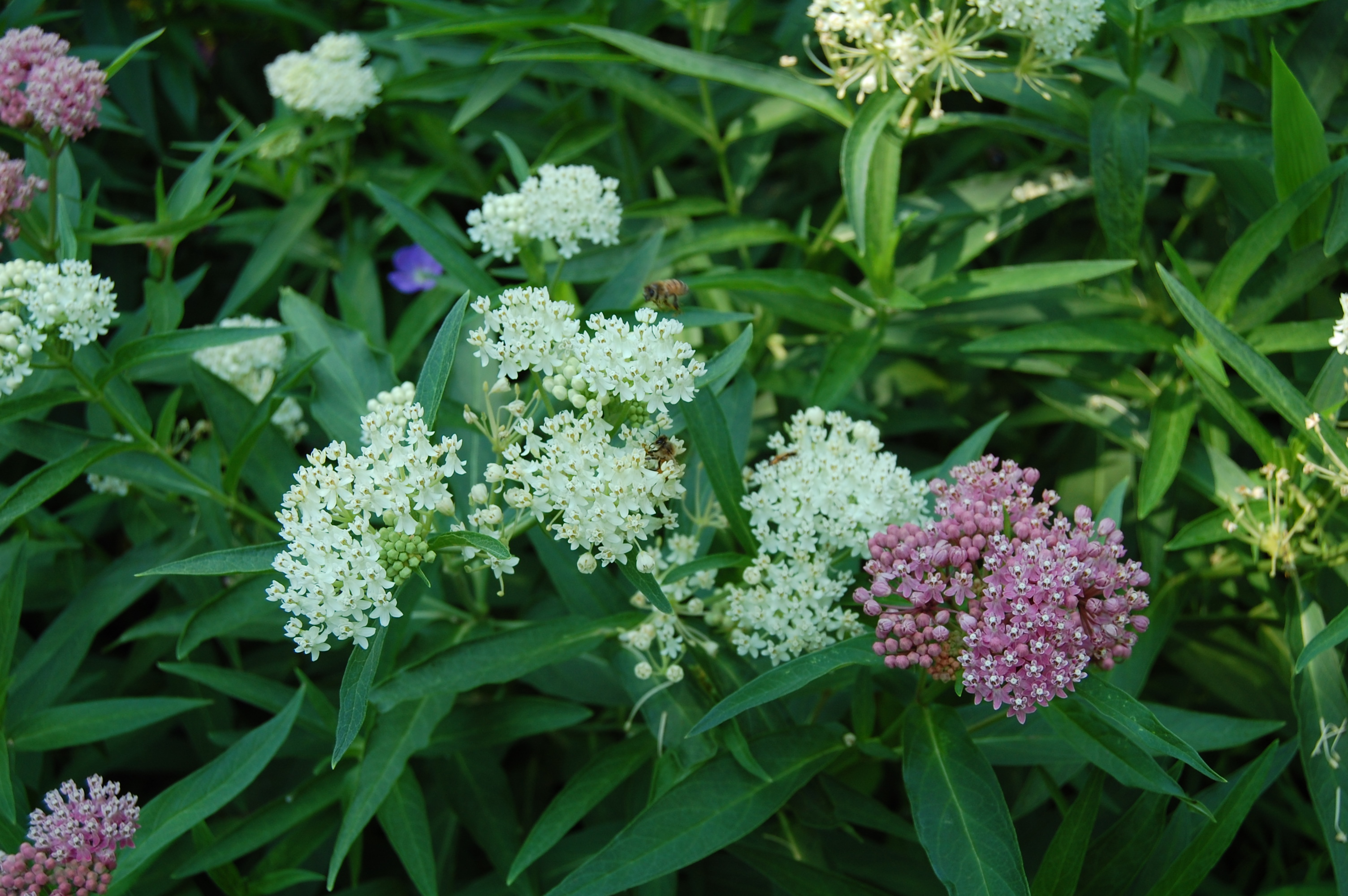 Flower Seeds 50 Butterfly Weed Seeds White Asclepias Incarnata