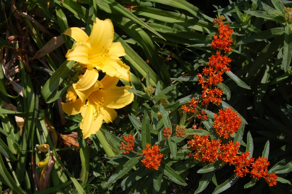 Butterflyweed with Daylilies.