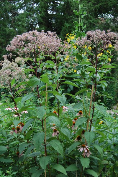Joe Pye weed nativar 'Gateway' with cup plant in the background. 'Gateway' has richer color than sweet Joe Pye weed, both in flowers and stems. Not quite so tall, also, and blooms later.