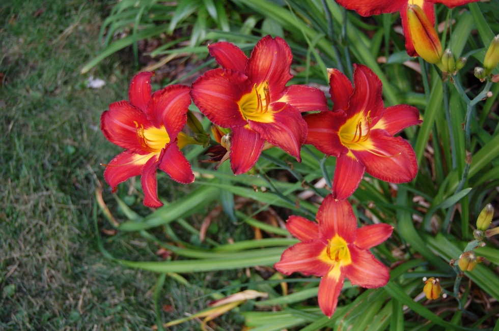 July 7f Red and yellow lilies