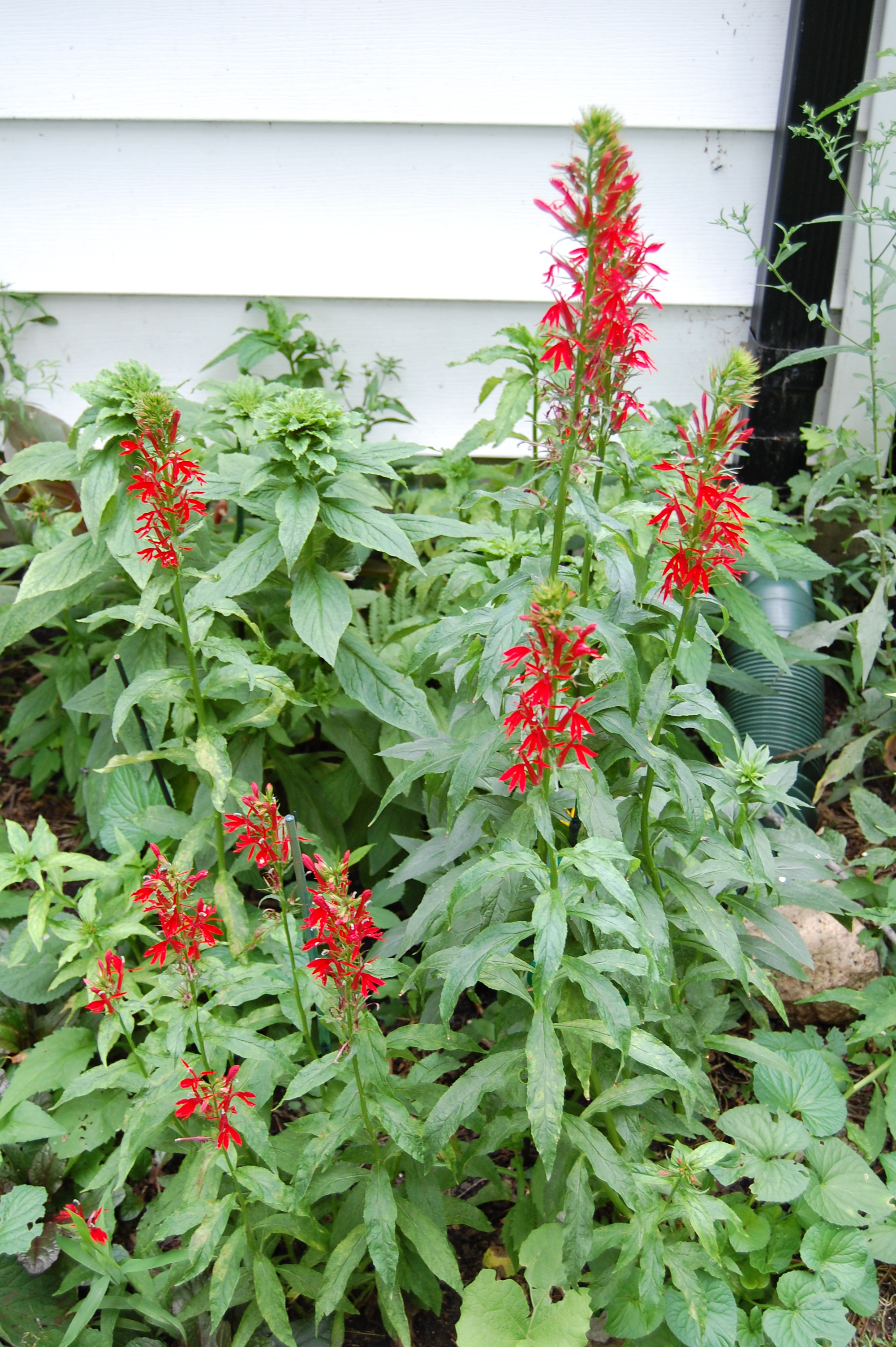 Cardinal flower if you love red you need this plant gardeninacity so mightylinksfo