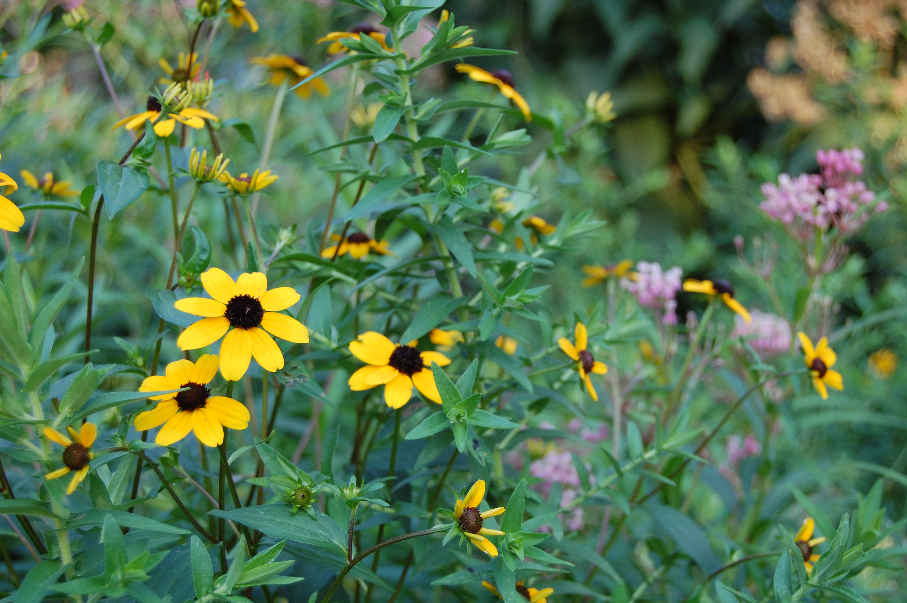 Black Eyed Susan S Big Sister Provides Color In Shade