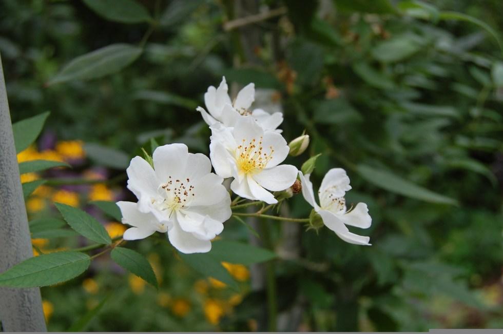8b Darlow rose