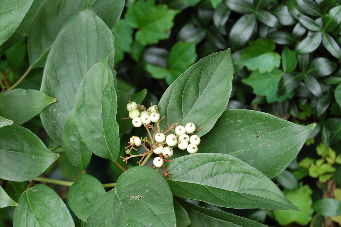 Grey dogwood berries.