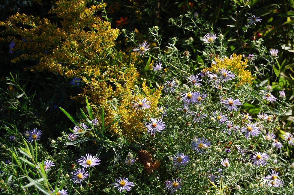 2012-09-15 aromatic aster anise goldenrod