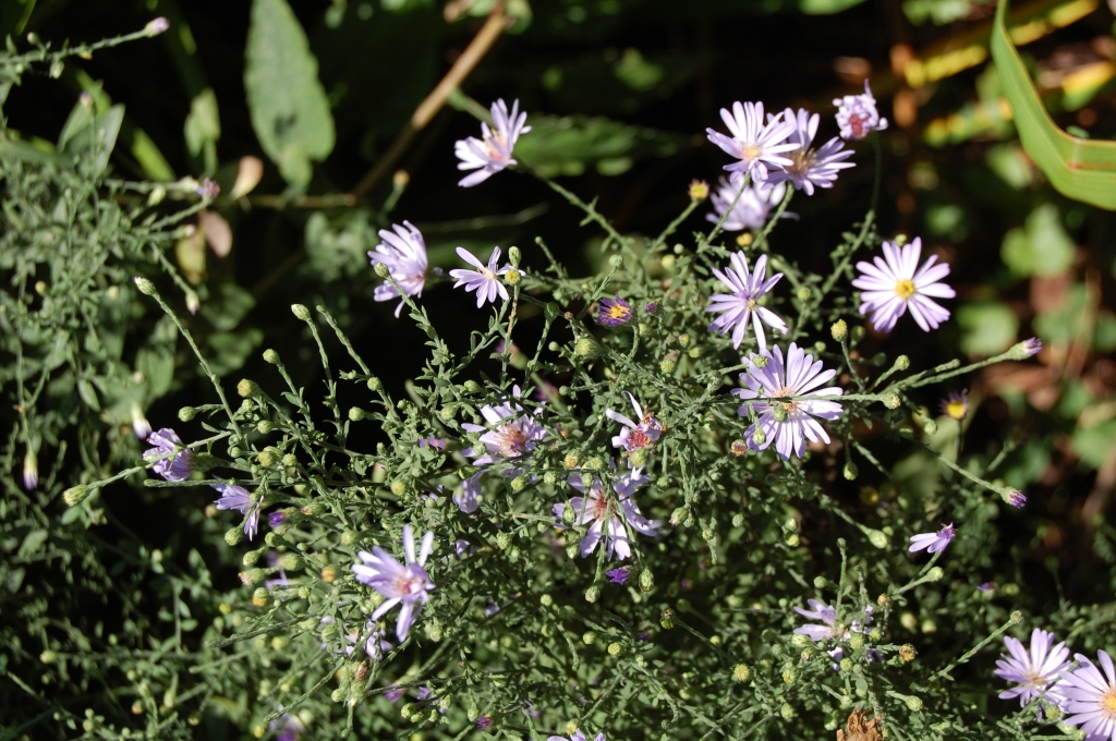 Aromatic Aster (mostly out)