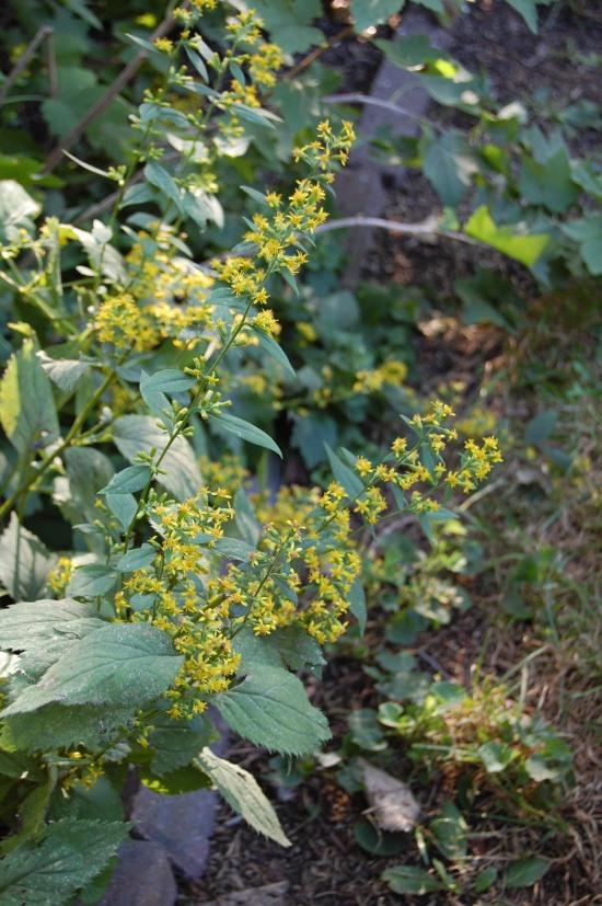 2012-09-15 zigzag goldenrod