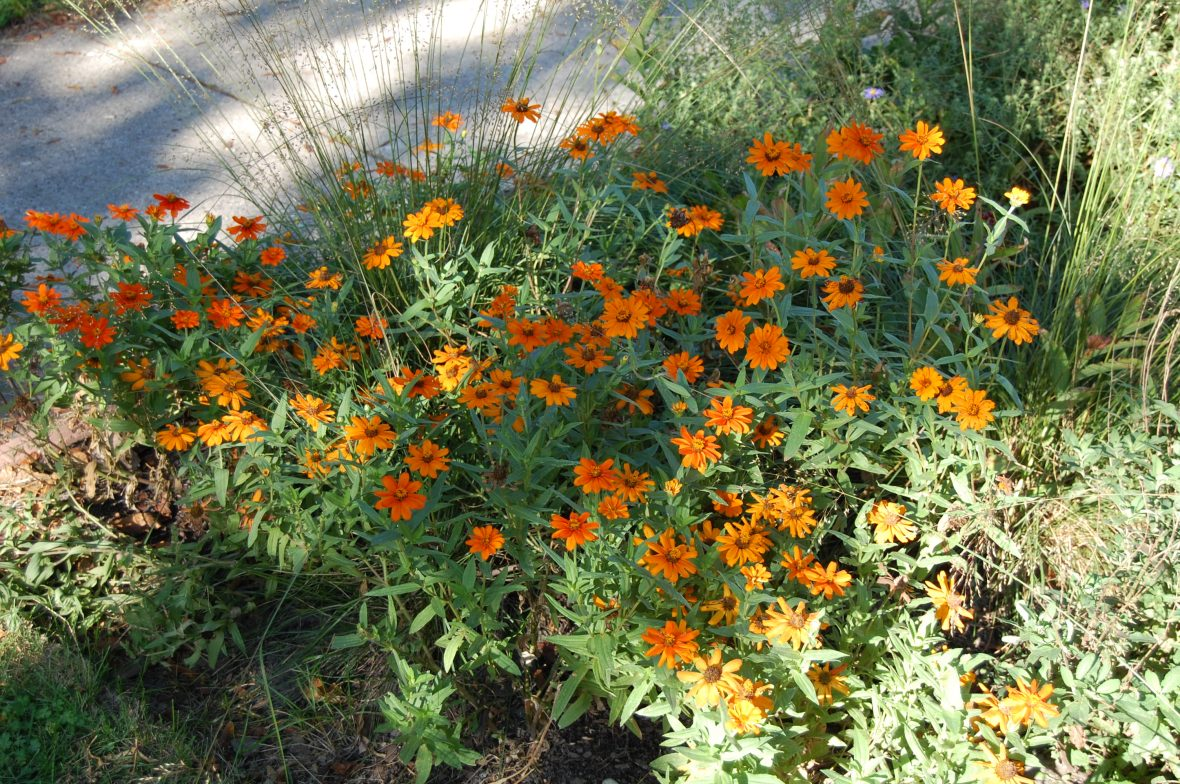 Zinnia 'Profusion Orange' fills in nicely between perennials and I like the simple orange flowers.
