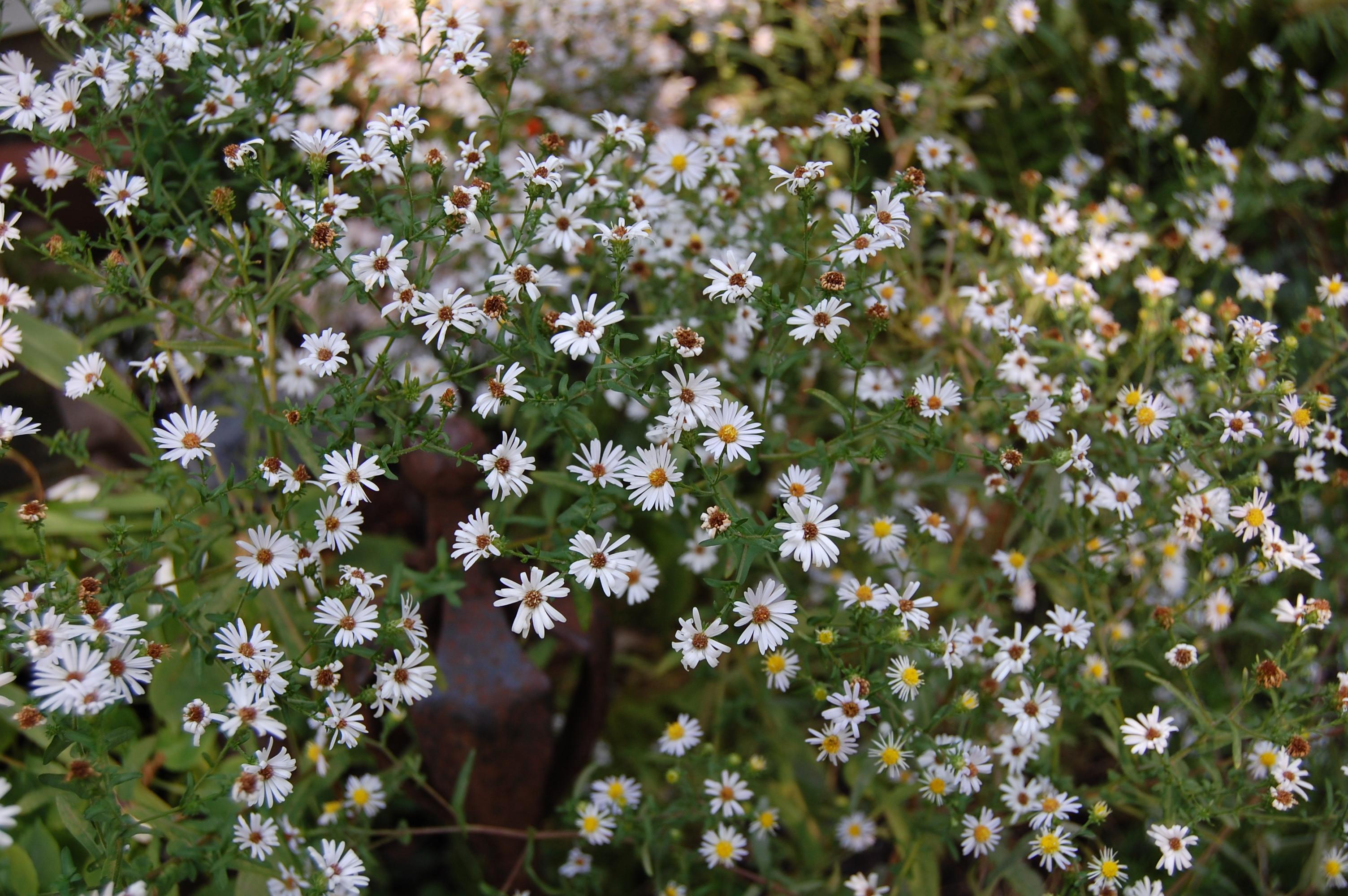 an astonishing variety of mostly wild asters  gardeninacity, Beautiful flower