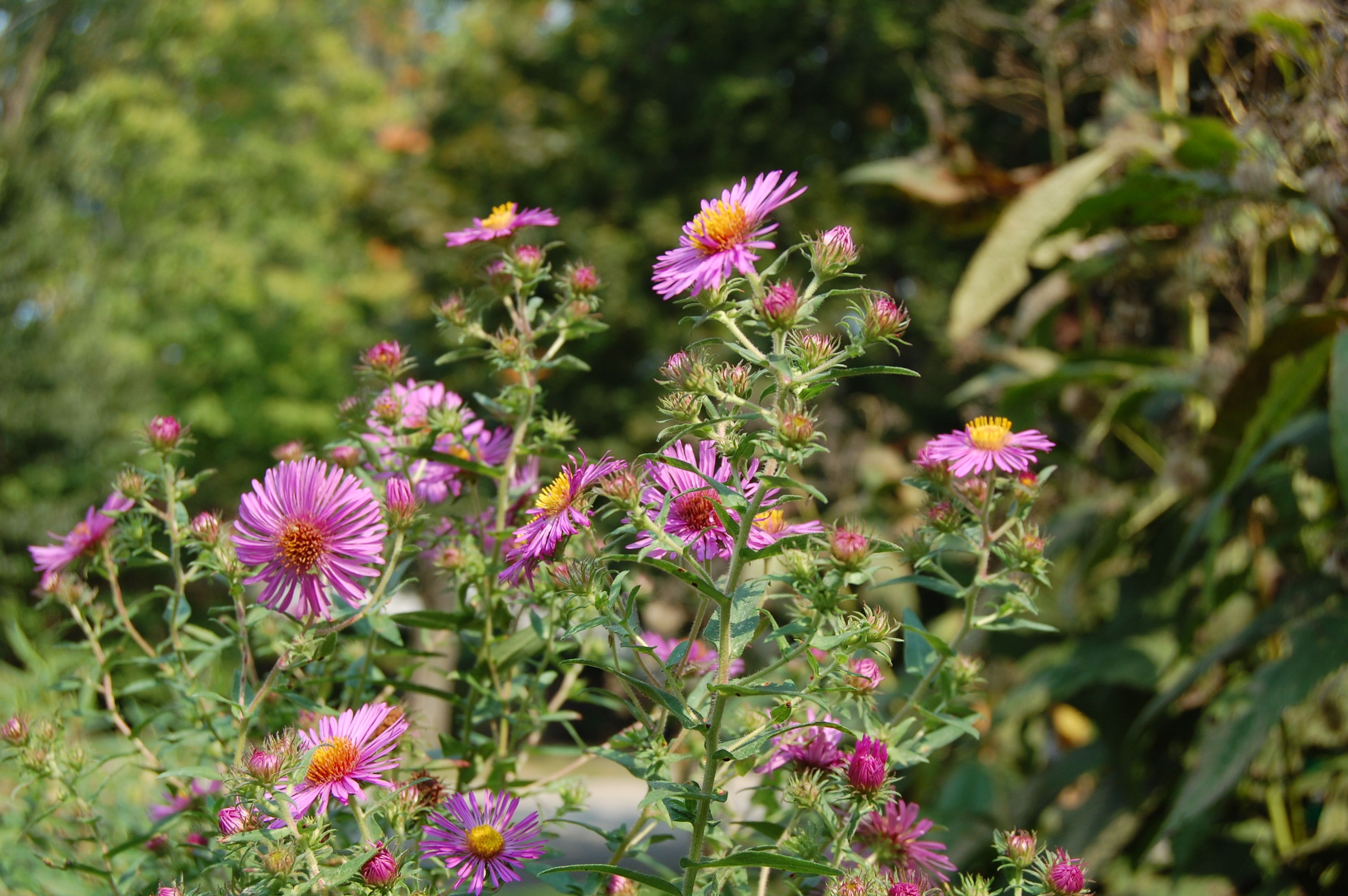 An astonishing variety of mostly wild asters gardeninacity new england aster with pink flowers mightylinksfo