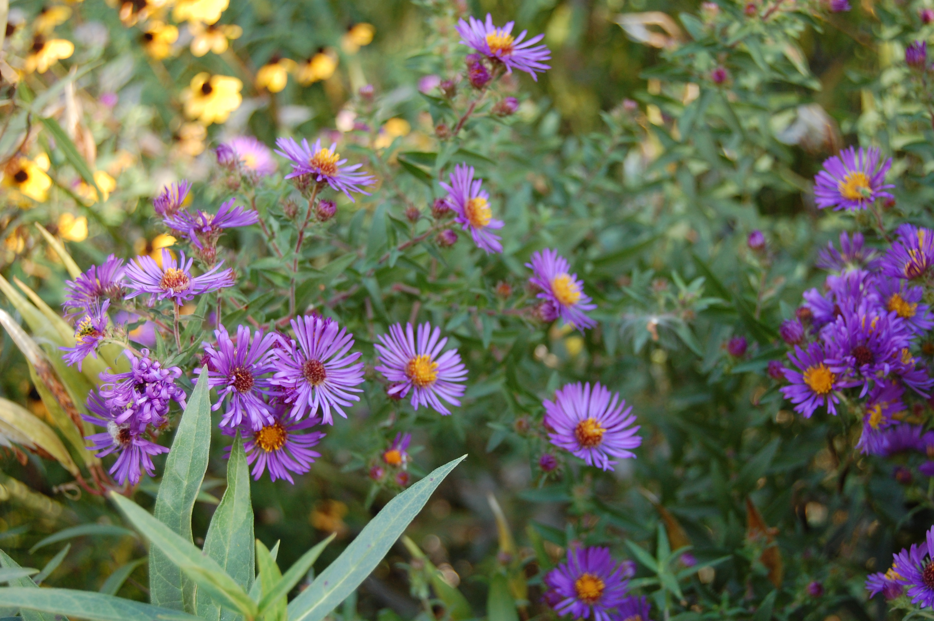 an astonishing variety of mostly wild asters  gardeninacity, Beautiful flower