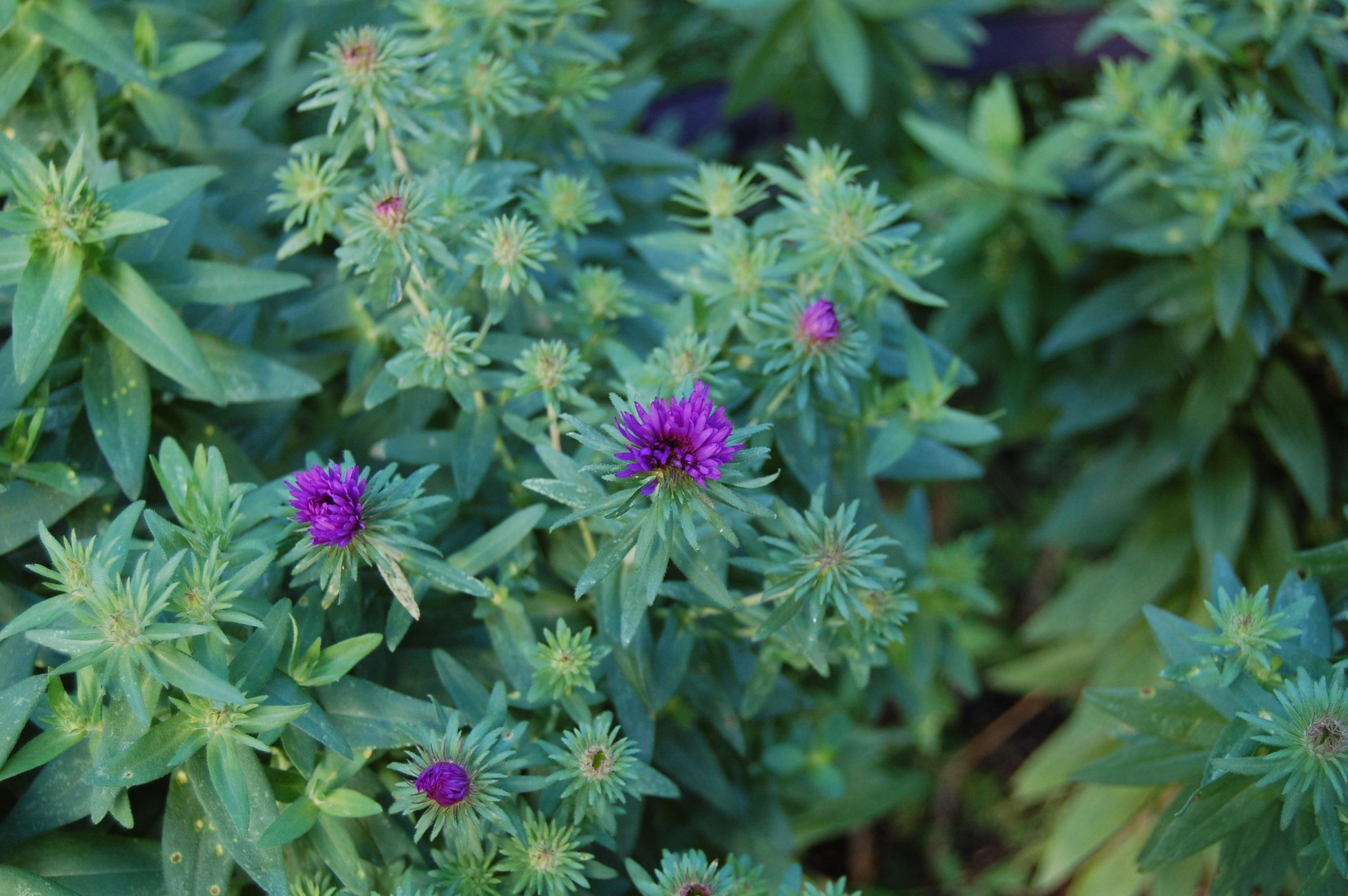 An astonishing variety of mostly wild asters gardeninacity purple mightylinksfo