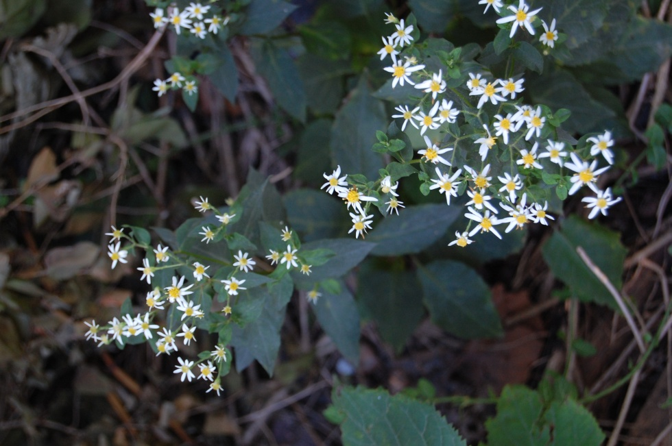 2012-09-23 white wood aster