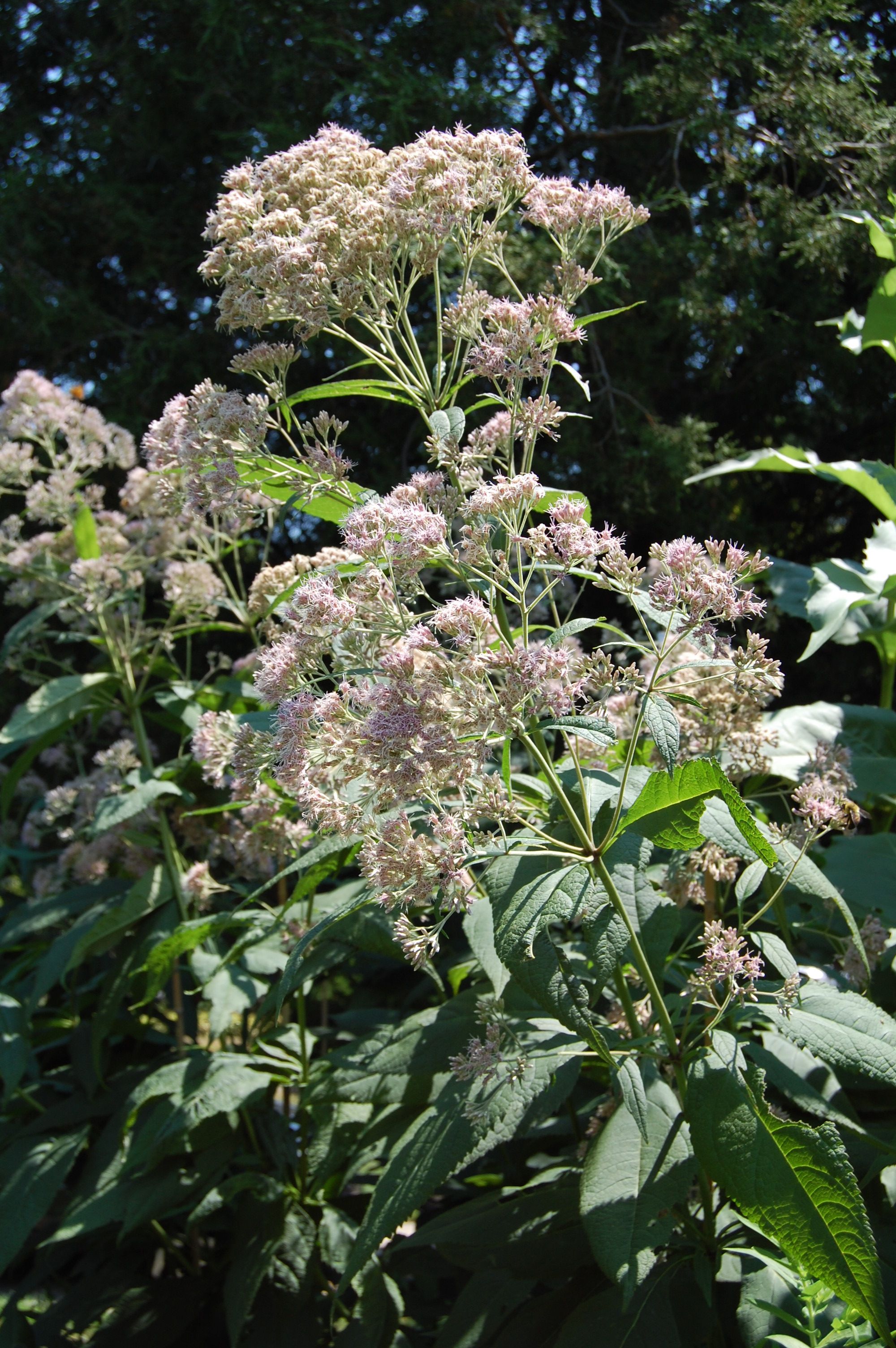 Question Of The Week Should It Stay Or Should It Go Joe Pye Weed
