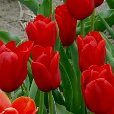 Tulip 'Kingsblood', one of our choices for containers.  Photo: Tulip Gallery.