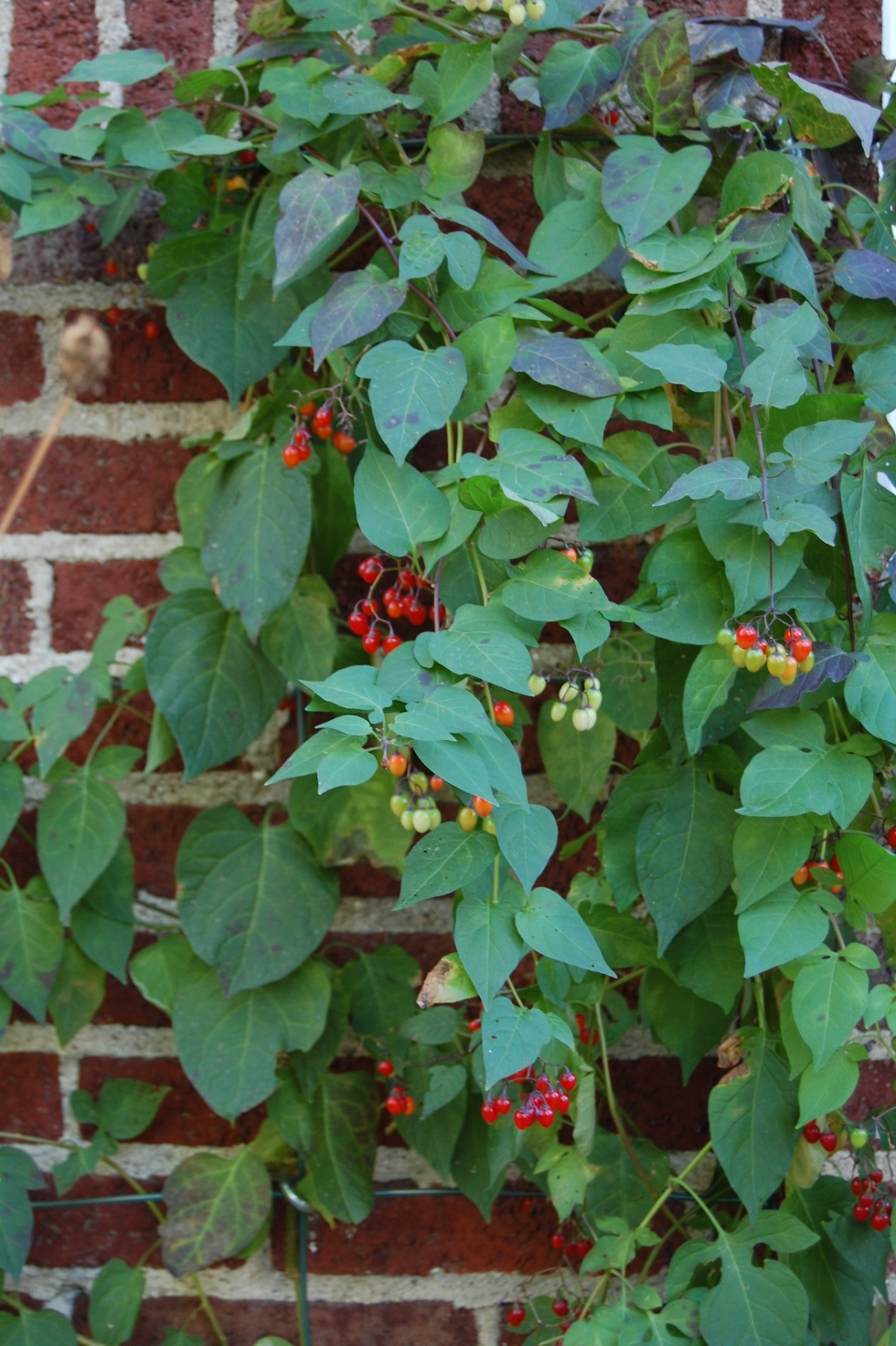 Deadly Nightshade as an ornamental vine for the garden