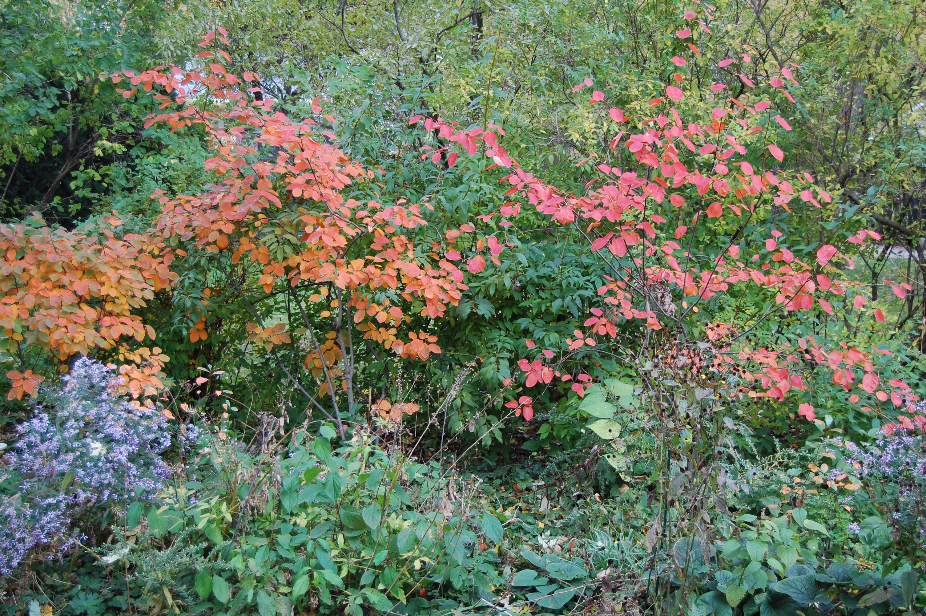 My serviceberries are out of service gardeninacity serviceberry foliage shows even brighter against the green hedge on our west property line some altavistaventures Gallery