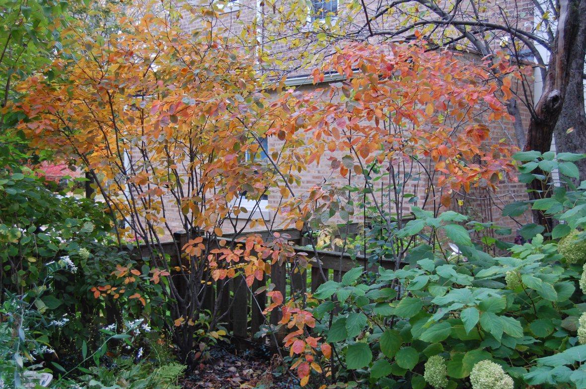 serviceberry Amelanchier autumn foliage autumn brilliance