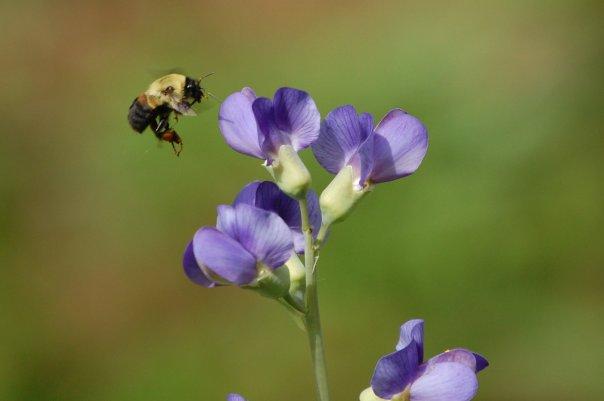 Blue false indigo is a good pollinator plant.
