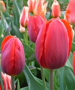 Tulip 'Coleur Cardinal'