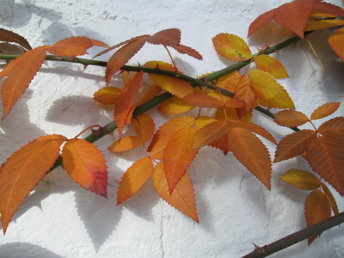 Rosa setigera autumn foliage Illinois Rose