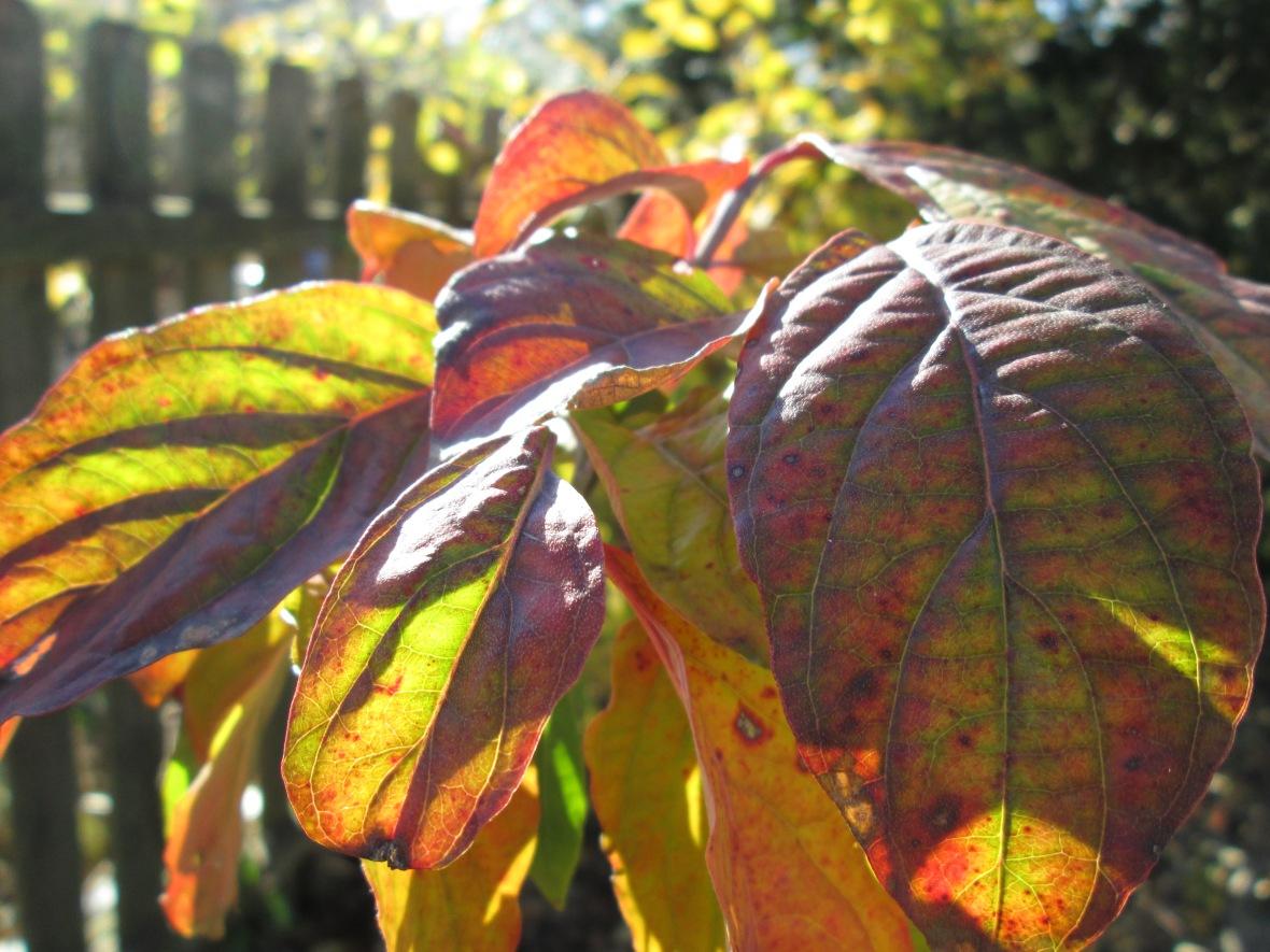 Cornus florida fall foliage