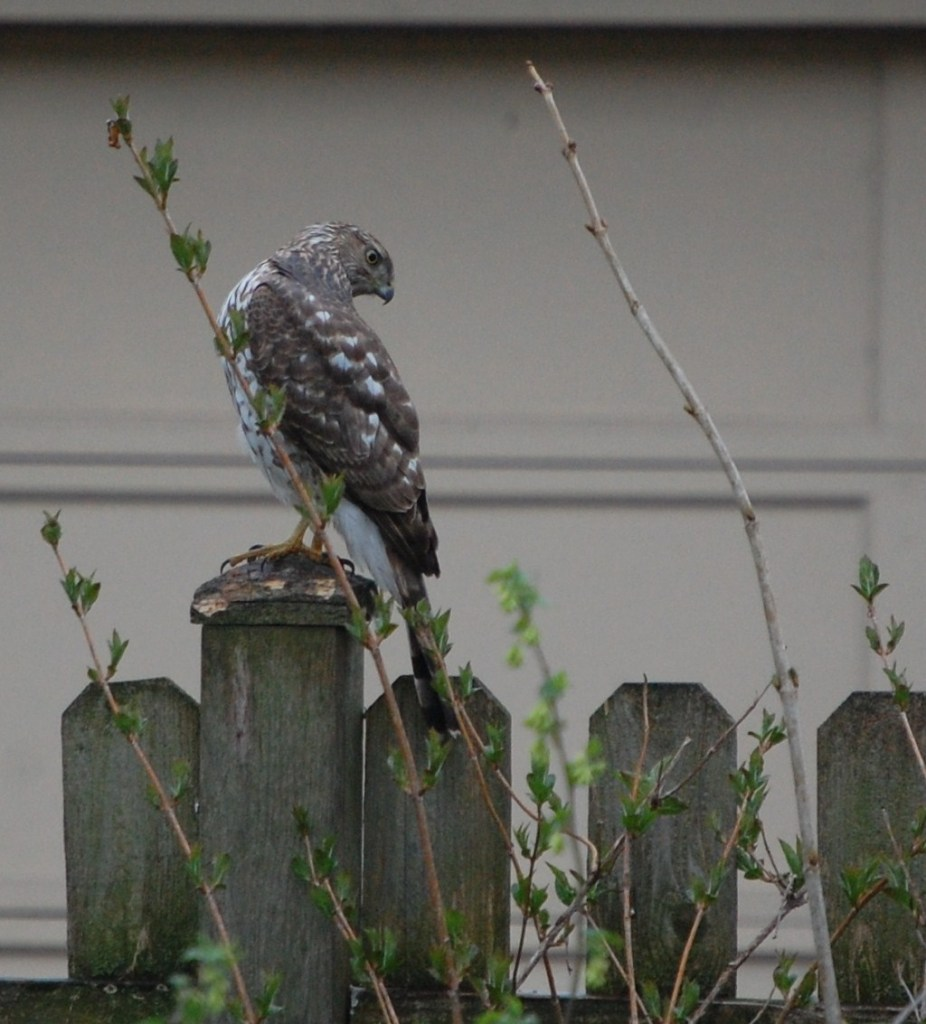 Red-Tailed Hawk on our back fence.