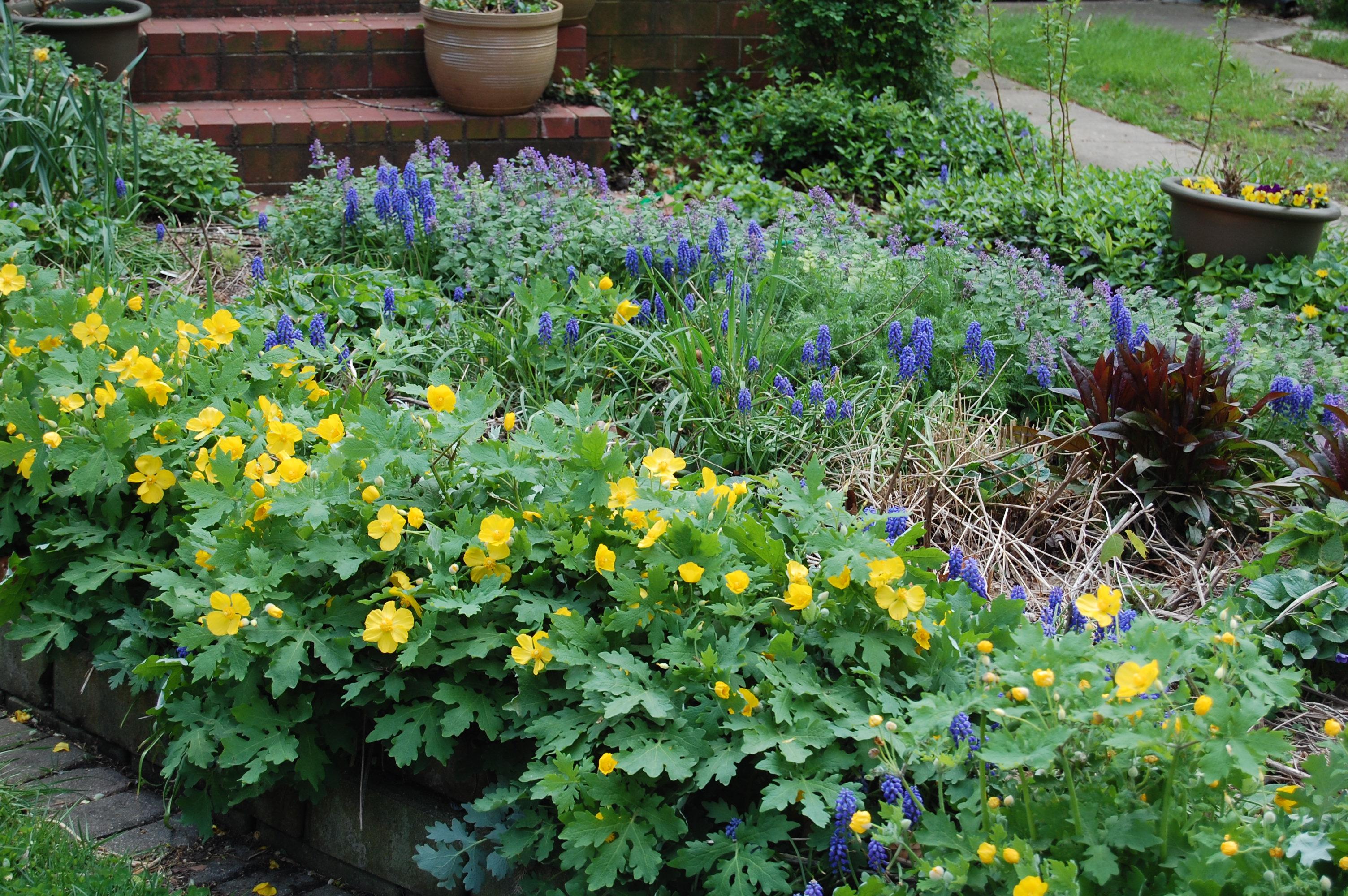 Tardy Wildflower Wednesday Celandine Poppy Gardeninacity