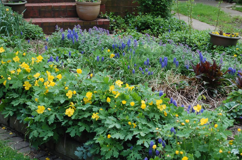 Cellandine poppy blooming with grape hyacinths.