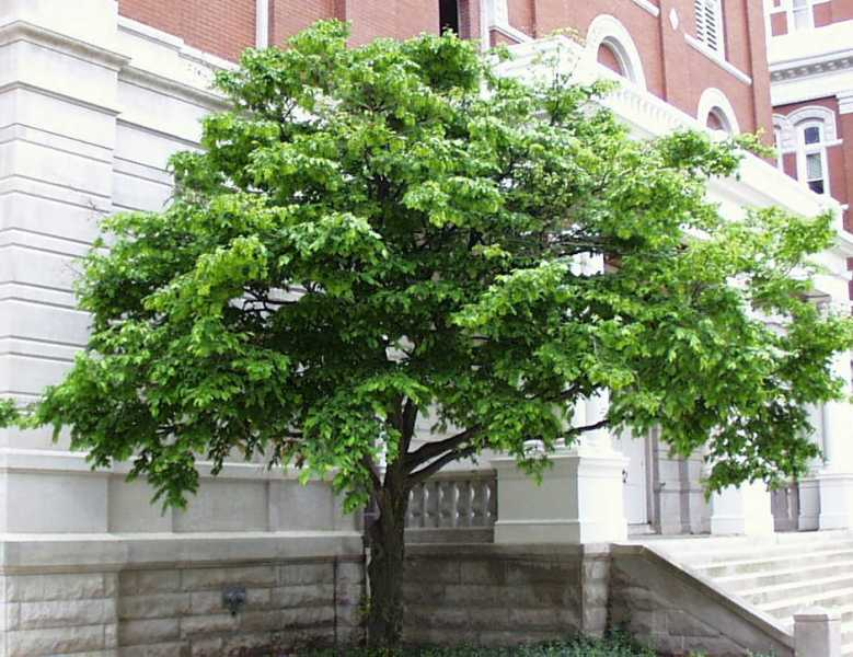 American hornbeam gardeninacity for Ideal trees for small gardens