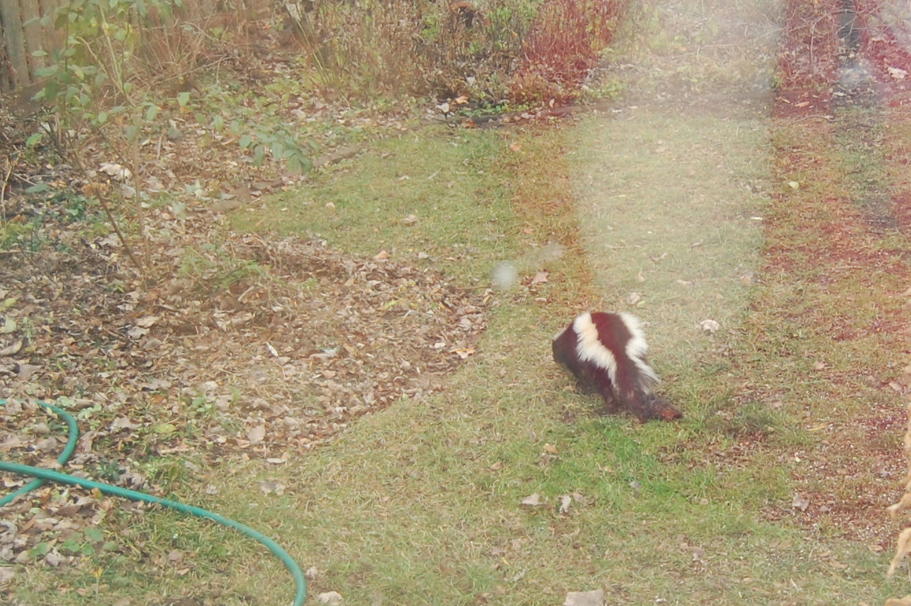 Attractive A Fuzzy Cell Phone Picture Of A Skunk In The Backyard.