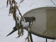 Mourning Dove Heated Bird Bath
