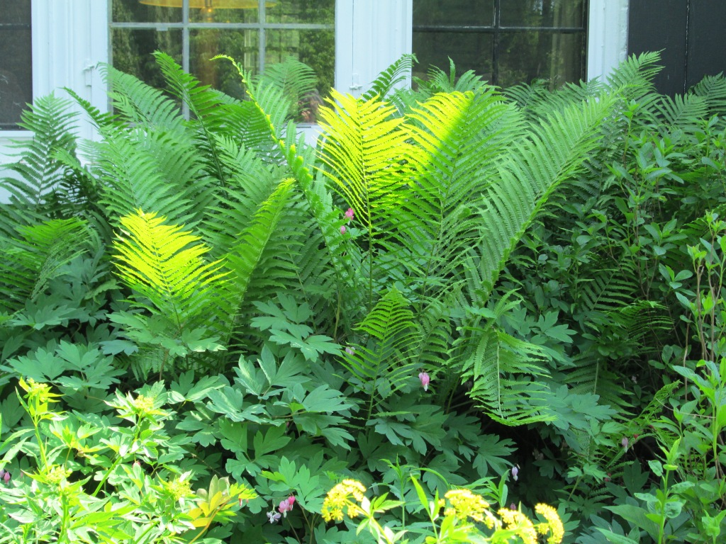 Ostrich fern as a foundation planting in m front garden.