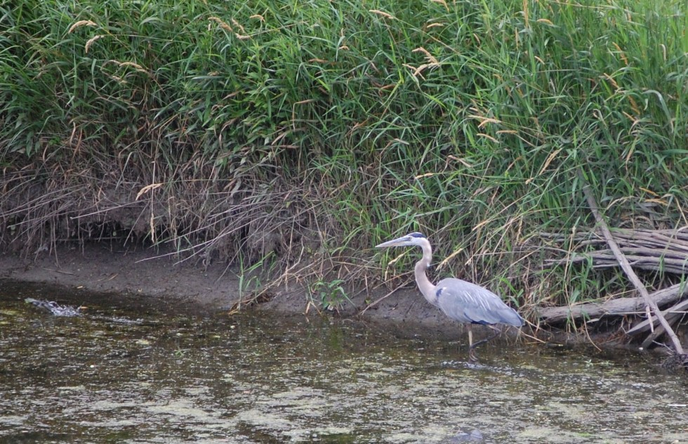 Blue Heron in the lagoon along the prairie. CBG is working to improve shoreline erosion.
