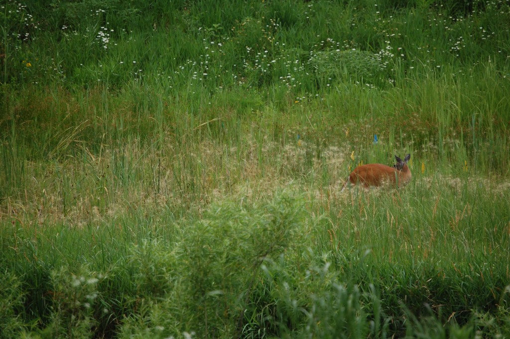 Doe in the grasses.