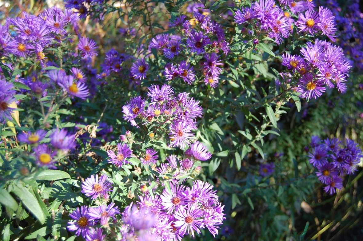 Spare the shears and spoil the New England Aster. I should have been cutting them back harder!