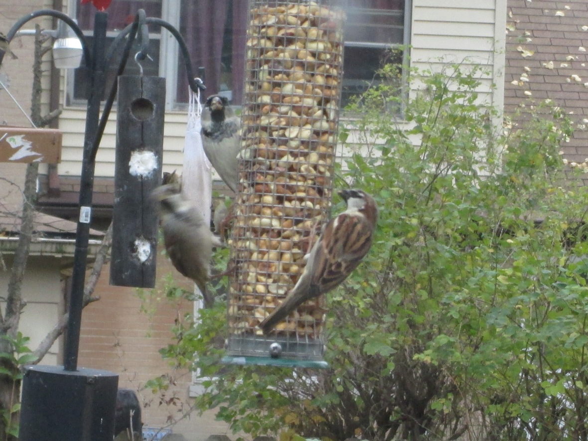 House sparrows gorging themselves on peanuts bought with my hard-earned dollars.